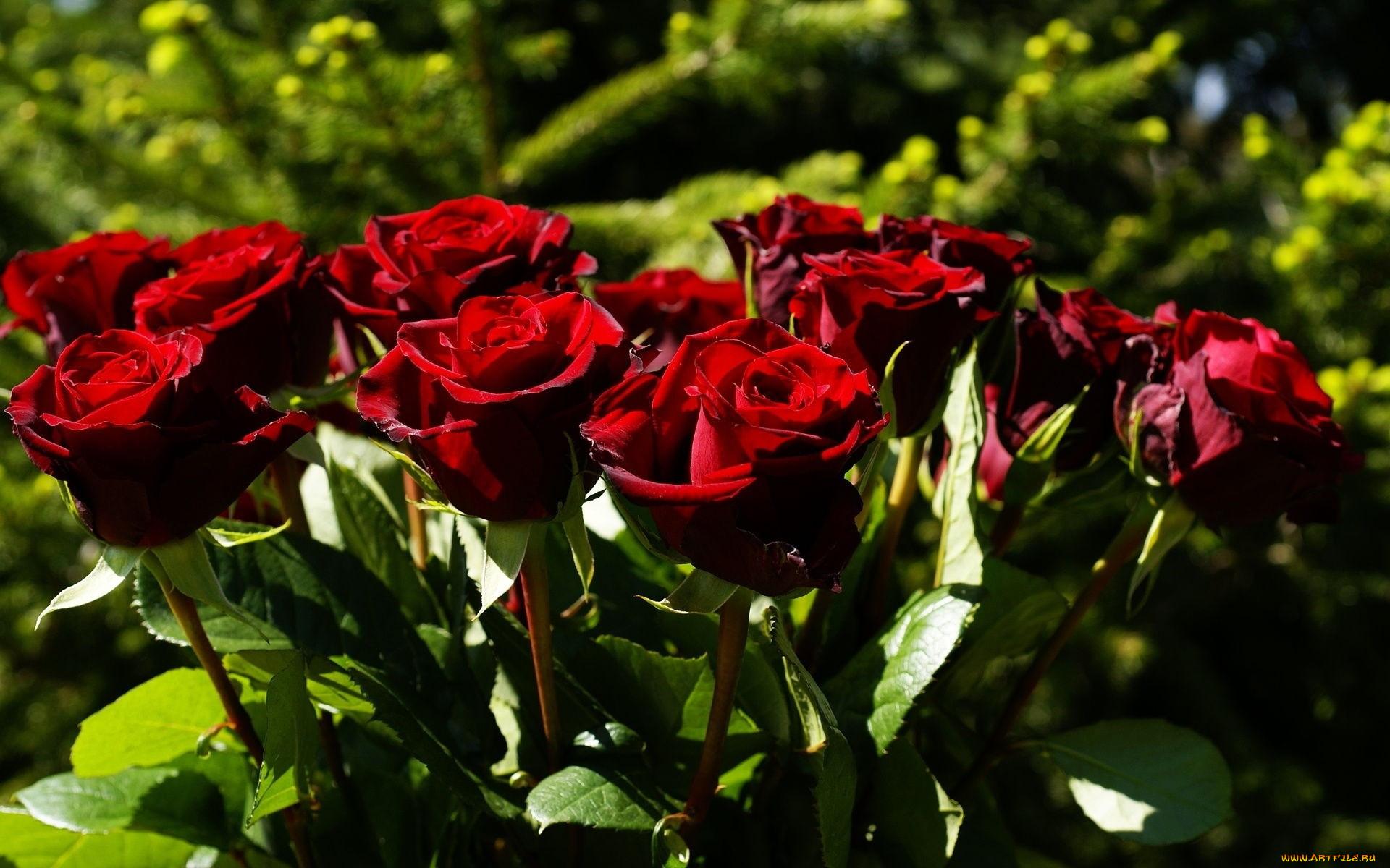 Фото одной большой розы могут
